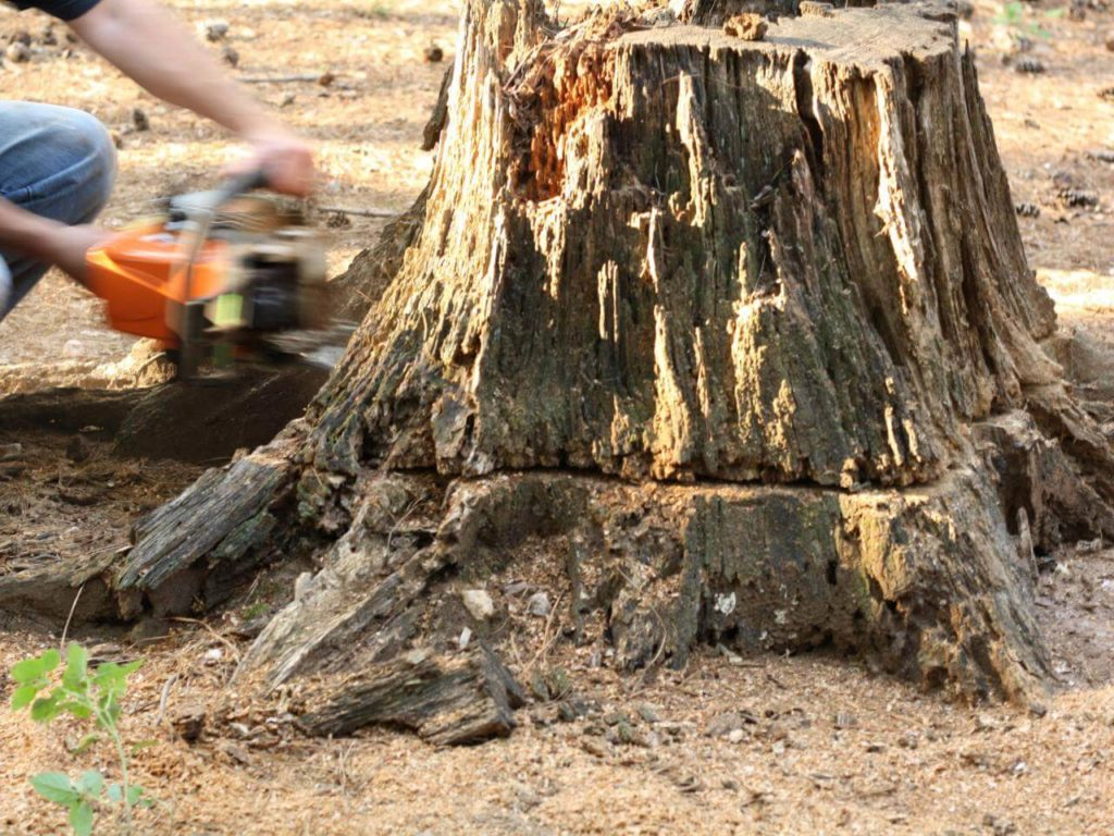 Stump Removal-Dania Beach FL Tree Trimming and Stump Grinding Services-We Offer Tree Trimming Services, Tree Removal, Tree Pruning, Tree Cutting, Residential and Commercial Tree Trimming Services, Storm Damage, Emergency Tree Removal, Land Clearing, Tree Companies, Tree Care Service, Stump Grinding, and we're the Best Tree Trimming Company Near You Guaranteed!
